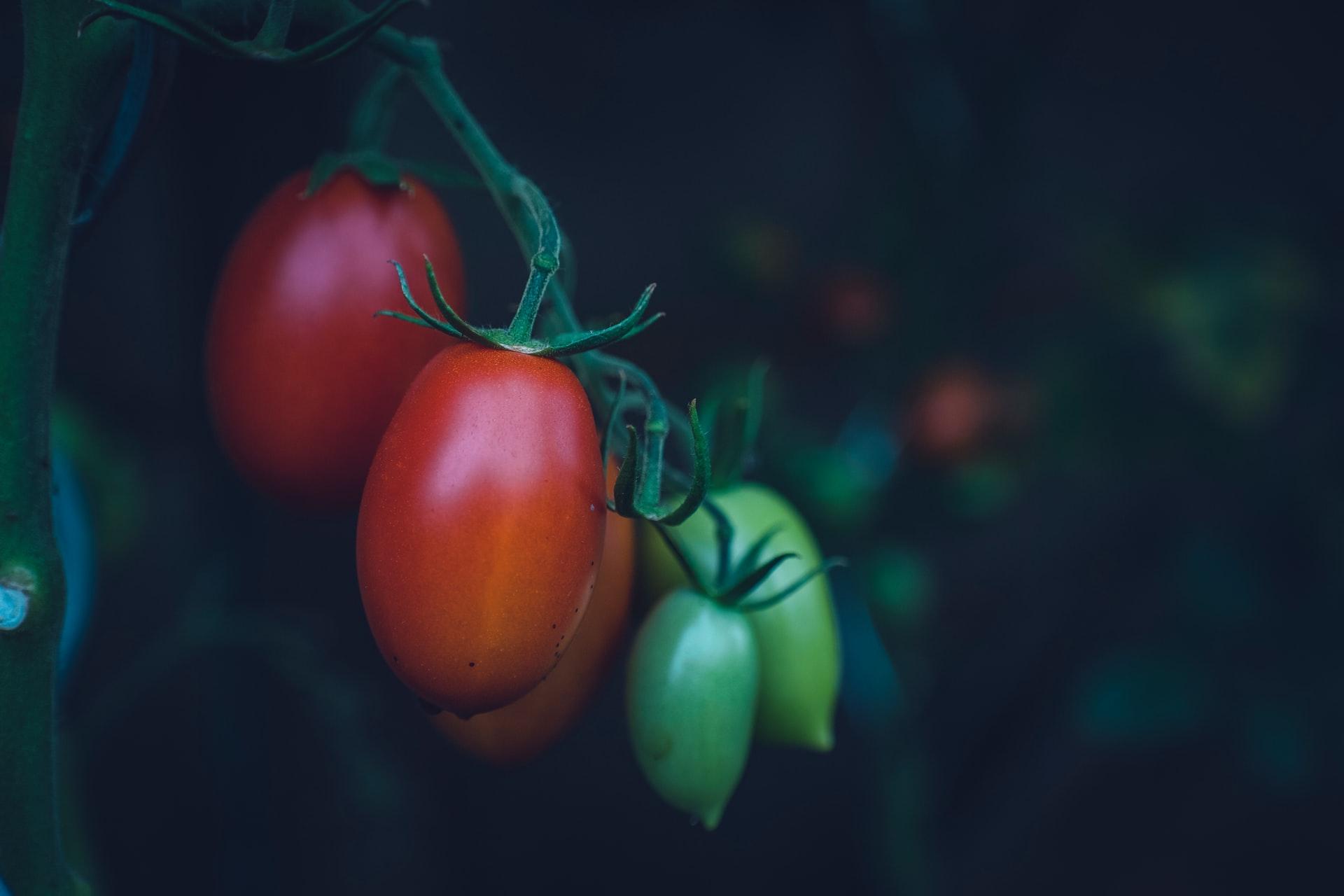 Tomaten am Strauch für Tomatensaucen